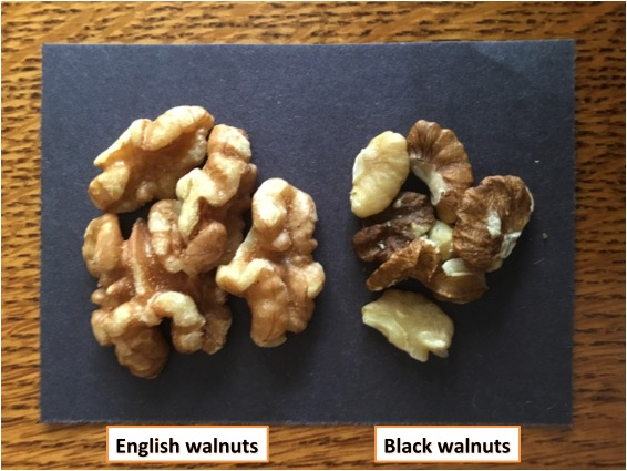 BLACKVENGLISHWALNUTS